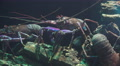 Close Up Lobster In Aquarium Footage