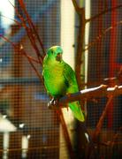 Emerald green colored parrots on branch Stock Photos