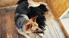 German Shepherd Dog and puppies suck milk Stock Footage