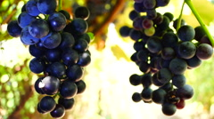 Red Grapes on the vine easily moved by a breeze Stock Footage