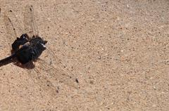 Dragonfly up close on the cement driveway - stock photo