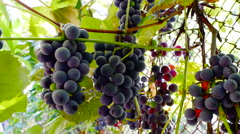 Cluster of wine grapes on vine in sunlight Stock Footage