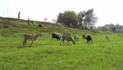 Shepherd standing on hill and keeps flock of goats, goats graze grass on meadow. Stock Footage