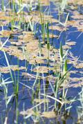 Stock Photo of reeds on the water in the lake in nature