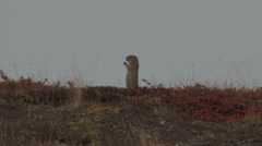 Arctic Ground Squirrel Standing in Tundra Stock Footage