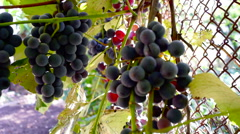 Red Grapes on the vine with cat's paw Stock Footage
