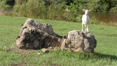 White little goat standing on rock and looking around, another goat graze grass. Stock Footage