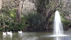 Ducks swim near a water fountain Stock Footage