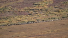 Caribou or Reindeer Herd in Alaska Tundra Stock Footage