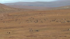 Large Herd of Caribou Walking Across Tundra in Alaska Stock Footage