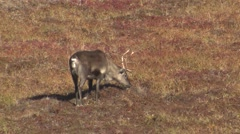 Caribou Walking Across Tundra and Feeding - stock footage