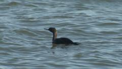 Brandt's Cormorant in Bering Sea in Alaska Stock Footage