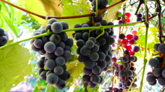 Red Grapes on the vine  with sunbeam Stock Footage