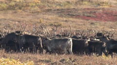 Reindeer Herd Running Across Tundra Near Arctic Center - stock footage