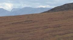 Reindeer Being Herded by Inupiat Eskimos on Tundra in Alaska Stock Footage