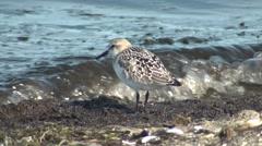 Sandpiper Shorebird in Alaska on Beach by Surf Stock Footage