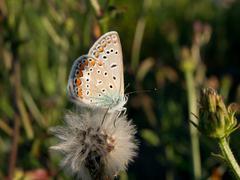 Common blue (Polyommatus icarus) - stock photo