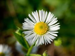 Daisy fleabane (Stenactis annua) Stock Photos