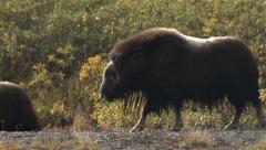 Musk Ox Adult Walking in River in Tundra in Alaska Stock Footage