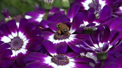 Bee collecting pollen from flower - stock footage