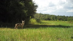 Coyote looking up Stock Footage