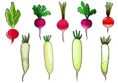 Red radishes and white daikon vegetables Stock Illustration