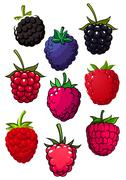 Red raspberry and blackberry fruits - stock illustration