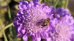 Bee on Scabiosa flower Stock Footage