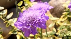 Purple flower scabiosa in summer Stock Footage