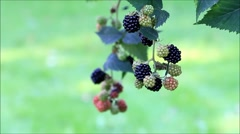 Fresh blackberries on bush, green background Stock Footage