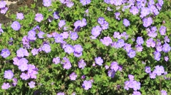 Purple flower Geranium Hybride (Rozanne) Stock Footage