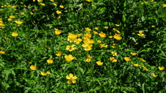 Wild yellow flower in Ili River Valley Stock Footage