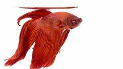Red Siamese fighting fish  on white background,Betta splendens. Stock Footage
