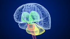 Brain inner structure x-ray view Stock Footage
