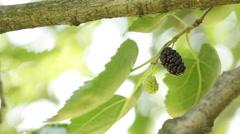Morus nigra Stock Footage