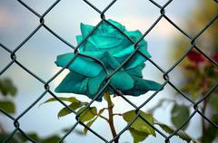 Rose imprisoned light blue - stock photo