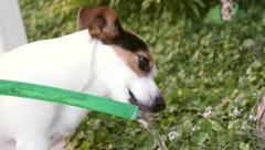 Jack Russell drinking water - stock footage
