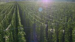 Aerial - Cultivation of hop plant - stock footage