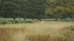 Deer in the field Stock Footage