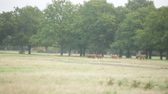 Red deer in the meadow in the mist Stock Footage