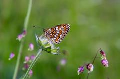 Butterfly bariatrica Galatea - stock photo