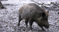 Wild boars close up digging muddy ground at rainy day Footage