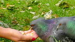 Pigeons eat out of a hand in a park Stock Footage