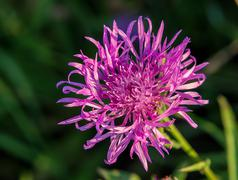 Stock Photo of Cornflower grungy