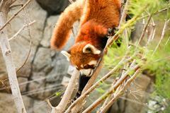 Red panda climbing on tree Stock Photos