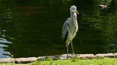 Heron perched by a lake in a park in London, United kingdom Stock Footage