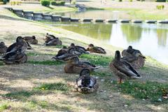 Flock of wild ducks on green grass field. Stock Photos