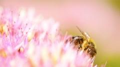 Honey bee on pink flower Stock Footage