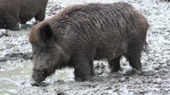 Stock Video Footage of 4k Wild boars close up digging muddy ground at rainy day