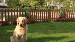 Golden Retriever plays and tumbles in the garden - stock footage